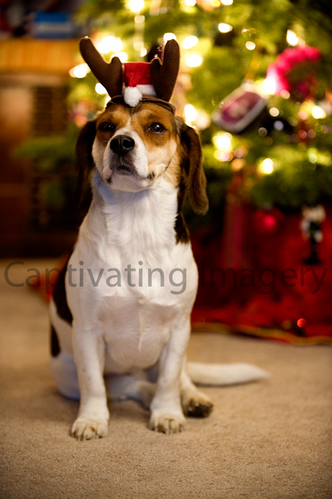 Dog with reindeer antlers and santa cap